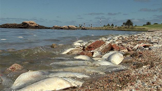 Dinara investiga por qué aparecieron miles de peces muertos en playas